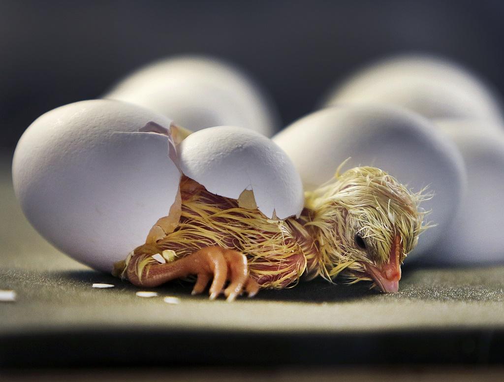 Биологи из Канады решили «загадку» курицы и яйца